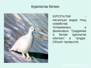 Куропатка белая. КУРОПАТКИ - несколько видов птиц семейства тетеревиных и фазано