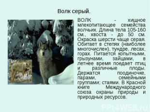 Волк серый. ВОЛК - хищное млекопитающее семейства волчьих. Длина тела 105-160 см