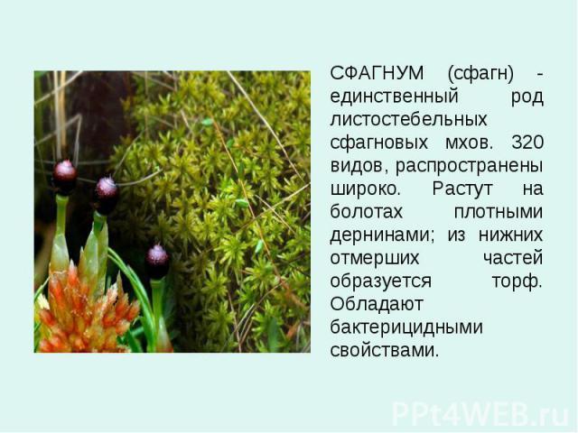СФАГНУМ (сфагн) - единственный род листостебельных сфагновых мхов. 320 видов, распространены широко. Растут на болотах плотными дернинами; из нижних отмерших частей образуется торф. Обладают бактерицидными свойствами. СФАГНУМ (сфагн) - единственный …