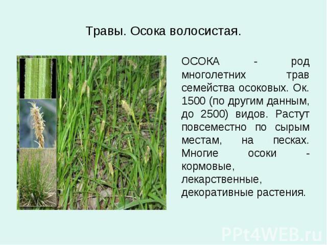 Травы. Осока волосистая. ОСОКА - род многолетних трав семейства осоковых. Ок. 1500 (по другим данным, до 2500) видов. Растут повсеместно по сырым местам, на песках. Многие осоки - кормовые, лекарственные, декоративные растения.