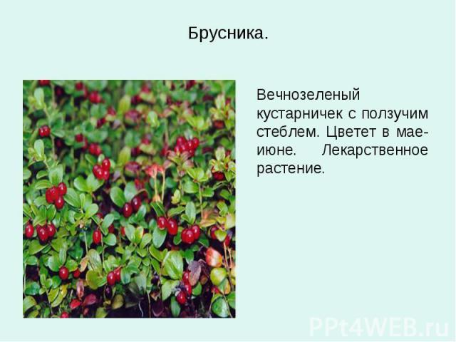 Брусника. Вечнозеленый кустарничек с ползучим стеблем. Цветет в мае-июне. Лекарственное растение.