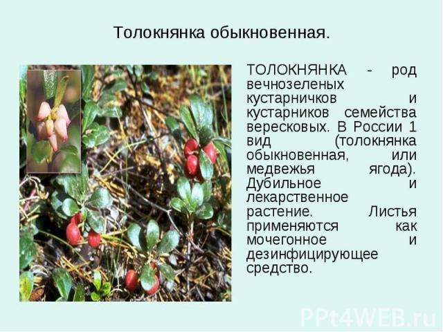 Толокнянка обыкновенная. ТОЛОКНЯНКА - род вечнозеленых кустарничков и кустарников семейства вересковых. В России 1 вид (толокнянка обыкновенная, или медвежья ягода). Дубильное и лекарственное растение. Листья применяются как мочегонное и дезинфициру…