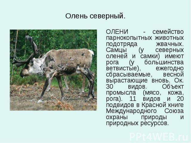 Олень северный. ОЛЕНИ - семейство парнокопытных животных подотряда жвачных. Самцы (у северных оленей и самки) имеют рога (у большинства ветвистые), ежегодно сбрасываемые, весной вырастающие вновь. Ок. 30 видов. Объект промысла (мясо, кожа, рога). 11…