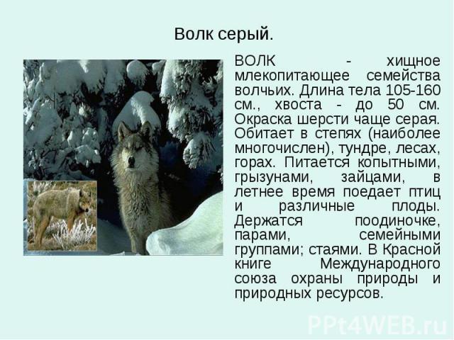 Волк серый. ВОЛК - хищное млекопитающее семейства волчьих. Длина тела 105-160 см., хвоста - до 50 см. Окраска шерсти чаще серая. Обитает в степях (наиболее многочислен), тундре, лесах, горах. Питается копытными, грызунами, зайцами, в летнее время по…