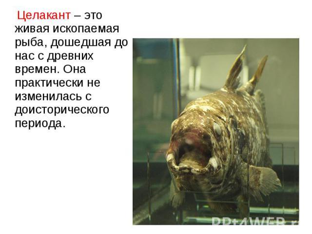 Целакант – это живая ископаемая рыба, дошедшая до нас с древних времен. Она практически не изменилась с доисторического периода. Целакант – это живая ископаемая рыба, дошедшая до нас с древних времен. Она практически не изменилась с доисторического …