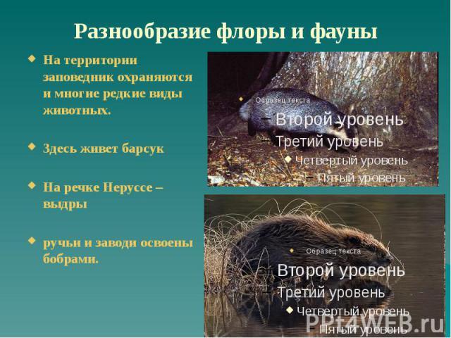 Разнообразие флоры и фауны На территории заповедник охраняются и многие редкие виды животных. Здесь живет барсук На речке Неруссе – выдры ручьи и заводи освоены бобрами.