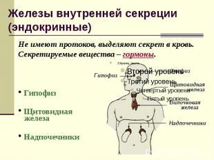 Железы внутренней секреции (эндокринные) Не имеют протоков, выделяют секрет в кр