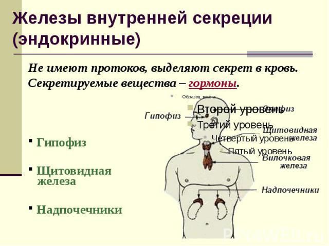 Железы внутренней секреции (эндокринные) Не имеют протоков, выделяют секрет в кровь. Секретируемые вещества – гормоны. Гипофиз Щитовидная железа Надпочечники