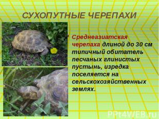 СУХОПУТНЫЕ ЧЕРЕПАХИ Среднеазиатская черепаха длиной до 30 см типичный обитатель