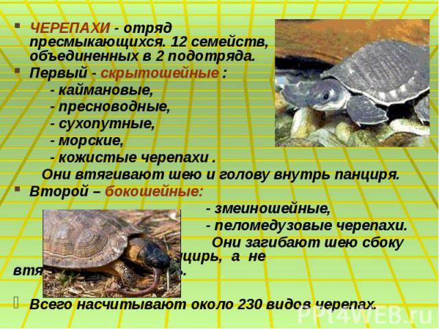 ЧЕРЕПАХИ - отряд пресмыкающихся. 12 семейств, объединенных в 2 подотряда. ЧЕРЕПАХИ - отряд пресмыкающихся. 12 семейств, объединенных в 2 подотряда. Первый - скрытошейные : - каймановые, - пресноводные, - сухопутные, - морские, - кожистые черепахи . …