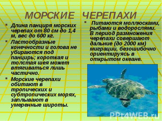 МОРСКИЕ ЧЕРЕПАХИ Длина панциря морских черепах от 80 см до 1,4 м, вес до 600 кг. Ластообразные конечности и голова не убираются под панцирь; короткая и толстая шея может втягиваться лишь частично. Морские черепахи обитают в тропических и субтропичес…