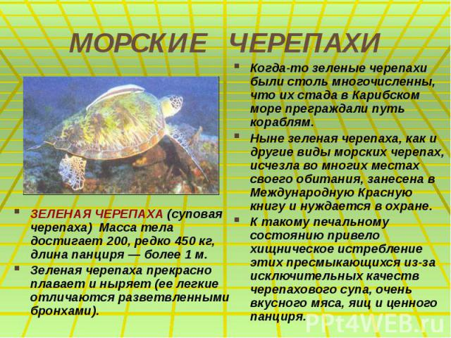 МОРСКИЕ ЧЕРЕПАХИ ЗЕЛЕНАЯ ЧЕРЕПАХА (суповая черепаха) Масса тела достигает 200, редко 450 кг, длина панциря — более 1 м. Зеленая черепаха прекрасно плавает и ныряет (ее легкие отличаются разветвленными бронхами).
