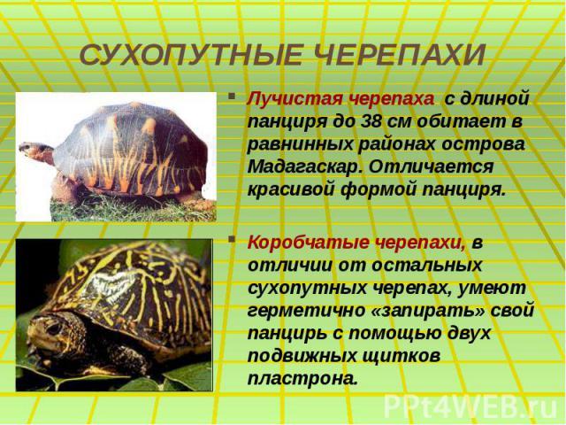 СУХОПУТНЫЕ ЧЕРЕПАХИ Лучистая черепаха с длиной панциря до 38 см обитает в равнинных районах острова Мадагаскар. Отличается красивой формой панциря. Коробчатые черепахи, в отличии от остальных сухопутных черепах, умеют герметично «запирать» свой панц…
