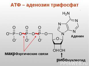 АТФ – аденозин трифосфат