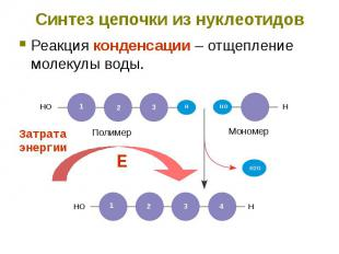 Синтез цепочки из нуклеотидов Реакция конденсации – отщепление молекулы воды.