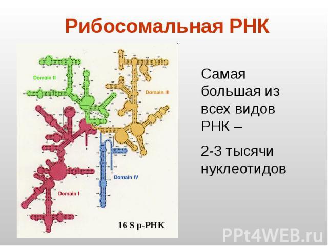 Рибосомальная РНК