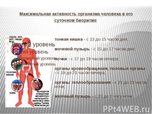 Максимальная активность организма человека в его суточном биоритме тонкая кишка - с 13 до 15 часов дня; мочевой пузырь - с 15 до 17 часов дня; почки - с 17 до 19 часов вечера; органы кровообращения, половые органы - с 19 до 21 часов вечера; органы т…