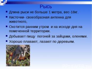 Рысь Длина рыси не больше 1 метра, вес-18кг. Кисточки- своеобразная антенна для