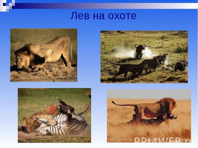 Лев на охоте