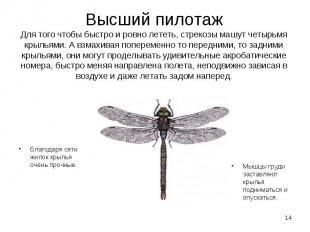 Благодаря сети жилок крылья очень прочные. Благодаря сети жилок крылья очень про