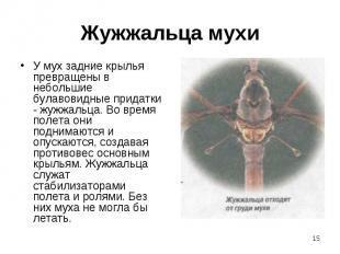 У мух задние крылья превращены в небольшие булавовидные придатки - жужжальца. Во