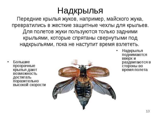 Большие прозрачные крылья дают возможность достигать поразительно высокой скорости Большие прозрачные крылья дают возможность достигать поразительно высокой скорости