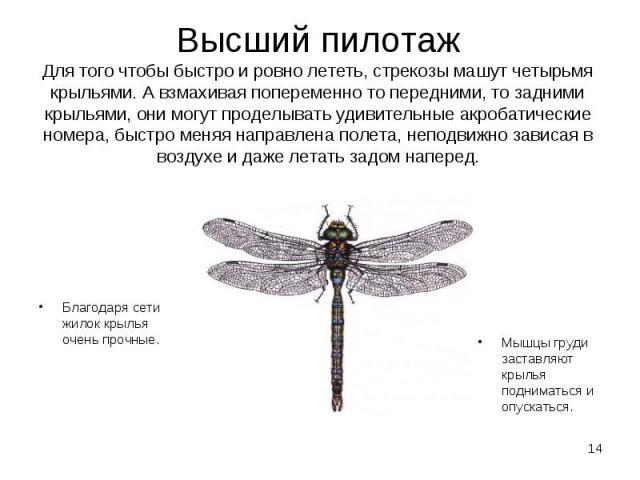 Благодаря сети жилок крылья очень прочные. Благодаря сети жилок крылья очень прочные.