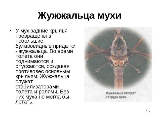 У мух задние крылья превращены в небольшие булавовидные придатки - жужжальца. Во время полета они поднимаются и опускаются, создавая противовес основным крыльям. Жужжальца служат стабилизаторами полета и ролями. Без них муха не могла бы летать. У му…