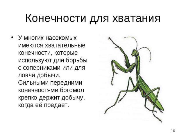 У многих насекомых имеются хватательные конечности, которые используют для борьбы с соперниками или для ловчи добычи. Сильными передними конечностями богомол крепко держит добычу, когда её поедает. У многих насекомых имеются хватательные конечности,…