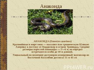 АНАКОНДА (Eunectes murinus) АНАКОНДА (Eunectes murinus) Крупнейшая в мире змея —