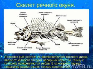 Позвонок рыб состоит из двояковогнутого костного диска, вверх от которого отходи
