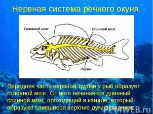 Передняя часть нервной трубки у рыб образует головной мозг. От него начинается д
