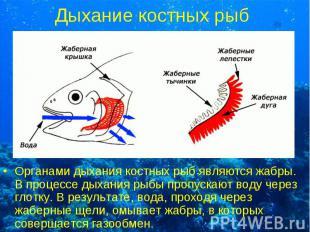 Органами дыхания костных рыб являются жабры. В процессе дыхания рыбы пропускают