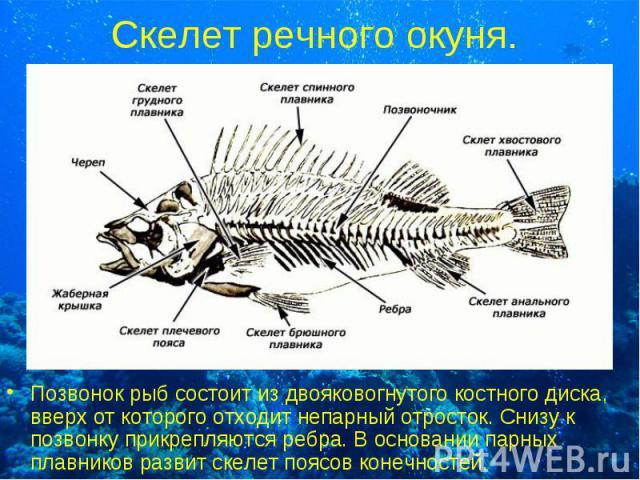 Позвонок рыб состоит из двояковогнутого костного диска, вверх от которого отходит непарный отросток. Снизу к позвонку прикрепляются ребра. В основании парных плавников развит скелет поясов конечностей. Позвонок рыб состоит из двояковогнутого костног…