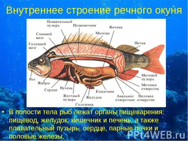 В полости тела рыб лежат органы пищеварения: пищевод, желудок, кишечник и печень, а также плавательный пузырь, сердце, парные почки и половые железы. В полости тела рыб лежат органы пищеварения: пищевод, желудок, кишечник и печень, а также плаватель…