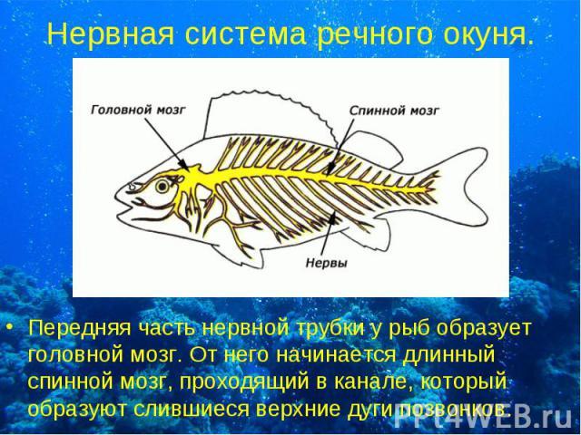 Передняя часть нервной трубки у рыб образует головной мозг. От него начинается длинный спинной мозг, проходящий в канале, который образуют слившиеся верхние дуги позвонков. Передняя часть нервной трубки у рыб образует головной мозг. От него начинает…