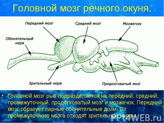 Головной мозг рыб подразделяется на передний, средний, промежуточный, продолговатый мозг и мозжечок. Передний мозг образует парные обонятельные доли. От промежуточного мозга отходят зрительные нервы. Головной мозг рыб подразделяется на передний, сре…