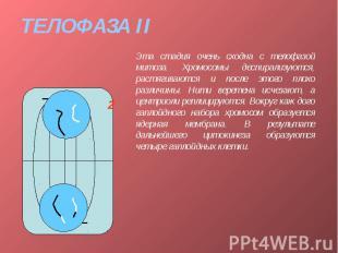 ТЕЛОФАЗА II Эта стадия очень сходна с телофазой митоза. Хромосомы деспирализуютс