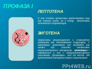 ПРОФАЗА I ЛЕПТОТЕНА В эту стадию хромосомы представлены еще как тонкие нити, но