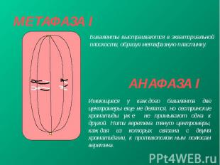 МЕТАФАЗА I
