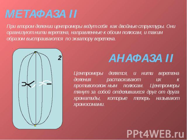 МЕТАФАЗА II При втором делении центромеры ведут себя как двойные структуры. Они организуют нити веретена, направленные к обоим полюсам, и таким образом выстраиваются по экватору веретена.