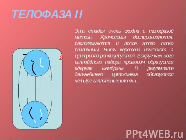 ТЕЛОФАЗА II Эта стадия очень сходна с телофазой митоза. Хромосомы деспирализуются, растягиваются и после этого плохо различимы. Нити веретена исчезают, а центриоли реплицируются. Вокруг каждого гаплойдного набора хромосом образуется ядерная мембрана…