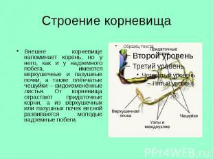 Строение корневища Внешне корневище напоминает корень, но у него, как и у надзем