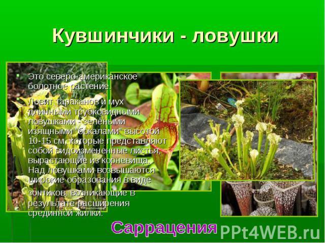 """Это северо-американское болотное растение. Это северо-американское болотное растение. Ловит тараканов и мух длинными трубковидными ловушками - зелёными изящными """"бокалами"""" высотой 10-15 см, которые представляют собой видоизмененные листья,…"""