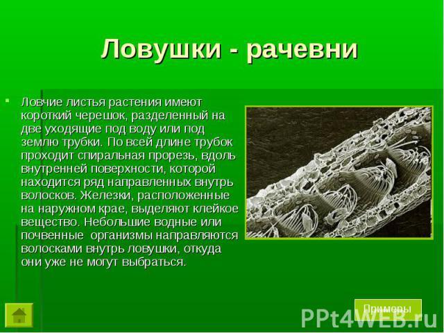 Ловчие листья растения имеют короткий черешок, разделенный на две уходящие под воду или под землю трубки. По всей длине трубок проходит спиральная прорезь, вдоль внутренней поверхности, которой находится ряд направленных внутрь волосков. Железки, ра…