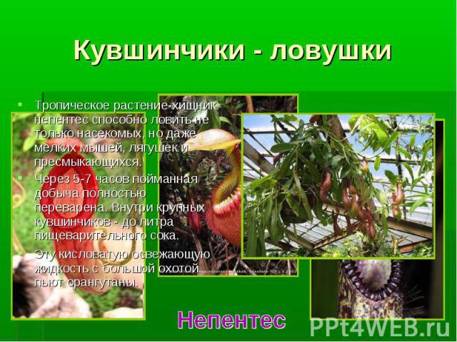 Тропическое растение-хищник непентес способно ловить не только насекомых, но даже мелких мышей, лягушек и пресмыкающихся. Тропическое растение-хищник непентес способно ловить не только насекомых, но даже мелких мышей, лягушек и пресмыкающихся. Через…