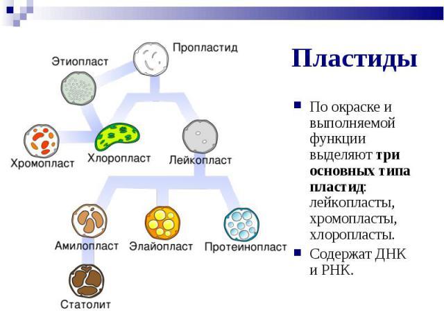 По окраске и выполняемой функции выделяют три основных типа пластид: лейкопласты, хромопласты, хлоропласты. По окраске и выполняемой функции выделяют три основных типа пластид: лейкопласты, хромопласты, хлоропласты. Содержат ДНК и РНК.