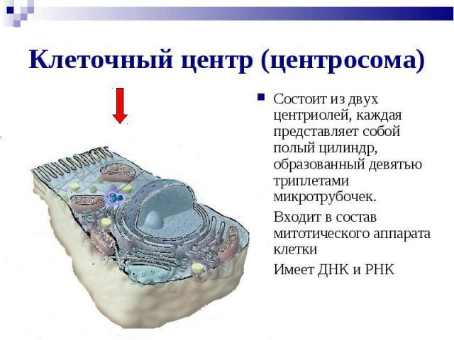 Состоит из двух центриолей, каждая представляет собой полый цилиндр, образованный девятью триплетами микротрубочек. Состоит из двух центриолей, каждая представляет собой полый цилиндр, образованный девятью триплетами микротрубочек. Входит в состав м…