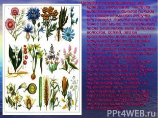 Цветки у сложноцветных, как правило, небольшие. Чашечка видоизменена в хохолок (