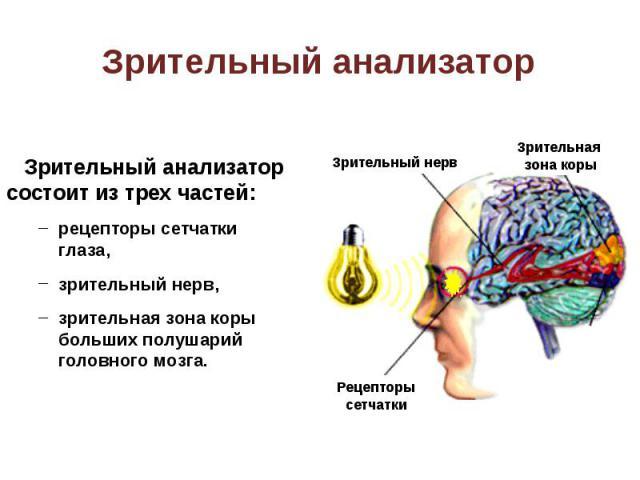 Зрительный анализатор состоит из трех частей: Зрительный анализатор состоит из трех частей: рецепторы сетчатки глаза, зрительный нерв, зрительная зона коры больших полушарий головного мозга.